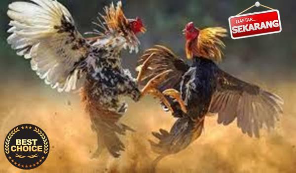 Adu Ayam S128 Rangkuman Tepat Menang dengan Mudah